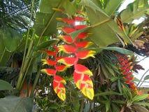 Fleurs jaunes rouges de Heliconia Photos libres de droits