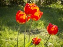 Fleurs jaunes rouges de tulipe dans le contre-jour Photographie stock libre de droits