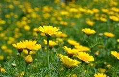 Fleurs jaunes sauvages Photographie stock libre de droits