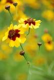 Fleurs jaunes sauvages Photographie stock