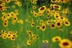 Fleurs jaunes sauvages Photos stock