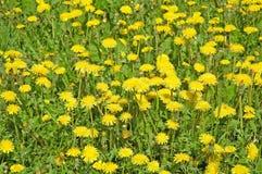 Fleurs jaunes sauvages Photos libres de droits