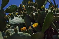 Fleurs jaunes sur de grands cactus verts contre un ciel bleu faune Fin vers le haut photo libre de droits