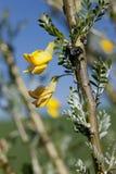 Fleurs jaunes sur la branche Photo libre de droits