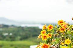 Fleurs jaunes sur la montagne photographie stock libre de droits