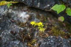 Fleurs jaunes sur la roche Photographie stock
