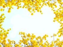 Fleurs jaunes sur le fond blanc pour l'encadrement Photo stock