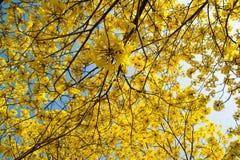 Fleurs jaunes sur les branches Image stock