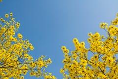 Fleurs jaunes sur les branches Images libres de droits