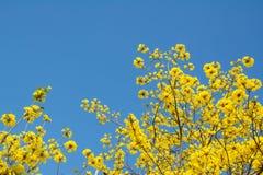 Fleurs jaunes sur les branches Photos libres de droits