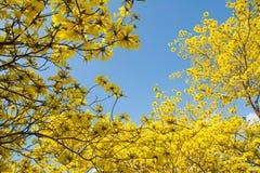Fleurs jaunes sur les branches Photographie stock libre de droits
