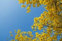 Fleurs jaunes sur les branches Photo stock