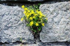 Fleurs jaunes sur les grandes pierres grises Photographie stock libre de droits