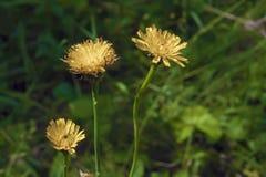 Fleurs jaunes sur les tiges minces images stock