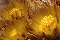 Fleurs jaunes sur un cactus de baril Images stock