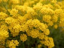 Fleurs jaunes sur un champ image stock