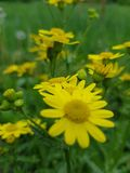 Fleurs jaunes sur un fond vert photo stock