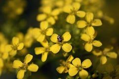 Fleurs jaunes sur un pré avec un scarabée photo libre de droits
