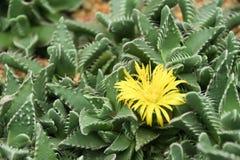 Fleurs jaunes sur une dune de sable Images libres de droits