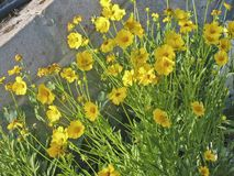 Fleurs jaunes, tendresse parmi les pierres photo stock