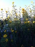 Fleurs jaunes très hautes image libre de droits