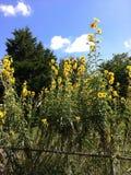Fleurs jaunes très hautes photographie stock