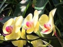 Fleurs jaunes tropicales exotiques d'orchidées Photographie stock