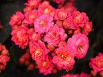Fleurs katy flamboyantes Photographie stock libre de droits