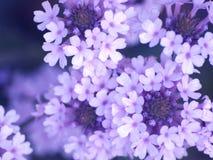 Fleurs lilas photographie stock