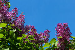 Fleurs lilas Image libre de droits