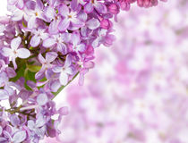 Fleurs lilas Photo libre de droits