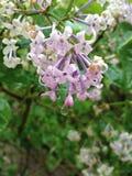 Fleurs lilas Photographie stock libre de droits