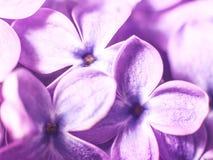 Fleurs lilas Photos stock