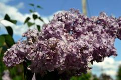 Fleurs lilas Images libres de droits