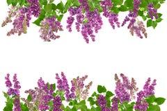 Fleurs lilas adorables de fleur, d'isolement sur le blanc, avec l'espace libre pour votre texte Image libre de droits