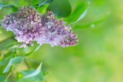 Fleurs lilas au ressort Photographie stock