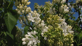 Fleurs lilas blanches Image stock
