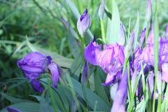 Fleurs lilas d'iris Photographie stock