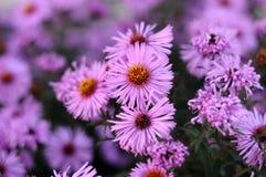 Fleurs lilas d'un arbuste d'aster Images libres de droits