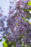 Fleurs lilas dans le jardin Images stock