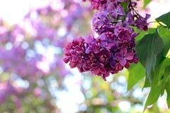 fleurs lilas dans le jardin début mai image libre de droits