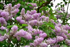 Fleurs lilas dans un jardin Images libres de droits