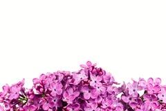 Fleurs lilas de beau syringa pourpre d'isolement image libre de droits