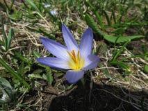 Fleurs lilas de crocus magnifique dans le jardin La primevère sont employées dans la conception de paysage photographie stock libre de droits