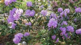 Fleurs lilas de fleur sur Bush au printemps et à côté des bulles de savon de coup banque de vidéos