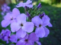 Fleurs lilas de floraison images stock