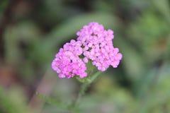 Fleurs lilas de floraison photographie stock libre de droits