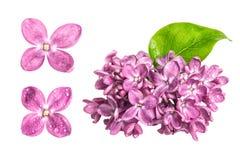 Fleurs lilas de ressort avec des baisses de l'eau d'isolement sur le backgrou blanc photographie stock