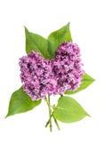Fleurs lilas de ressort d'isolement sur le fond blanc photos stock