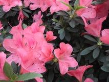 Fleurs lilas, fleurs pourpres Arbre de floraison au printemps Rose fleurit, les fleurs roses, azalées roses Images libres de droits